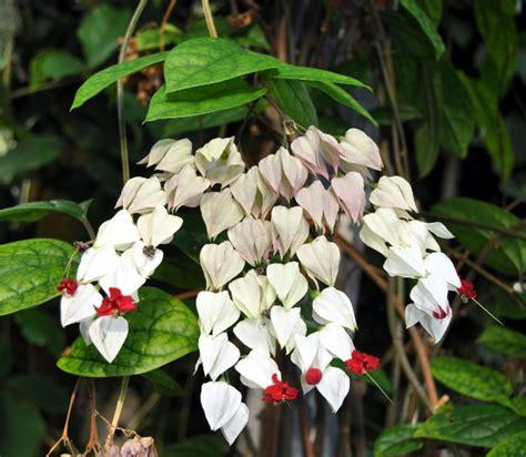 Tanaman Merambat Nona Makan Sirih Clerodendrum Thomsoniae cara menanam dan merawat bunga nona makan sirih bibitbunga