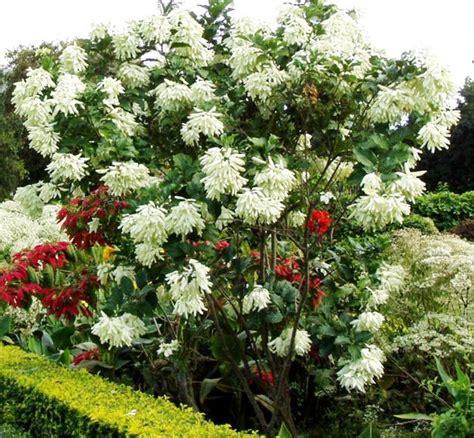 tanaman nusa indah putih white mussaenda bibitbungacom