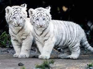 bb tigre blanc