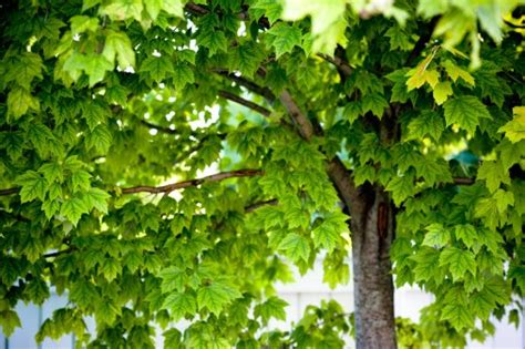 maple tree allergies trees that make you sneeze allergic living