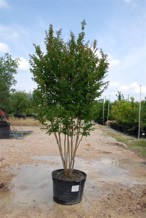 tree land nursery dallas texas crape myrtle