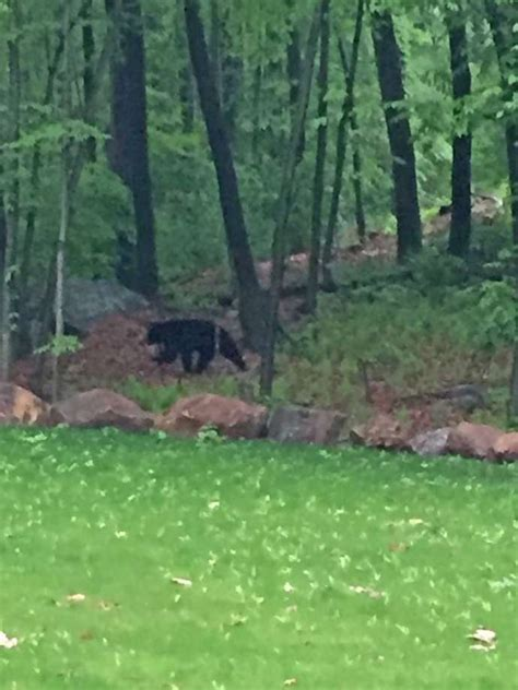 bear in backyard stamford police captain spots bear in backyard