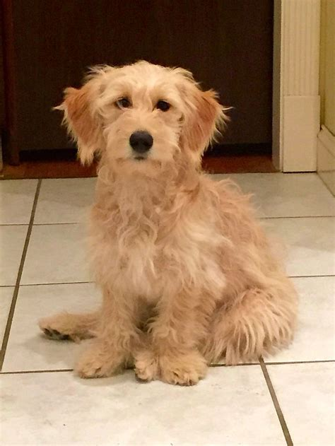 goldendoodle puppy allergies miniature goldendoodle 21 pounds miscellaneous