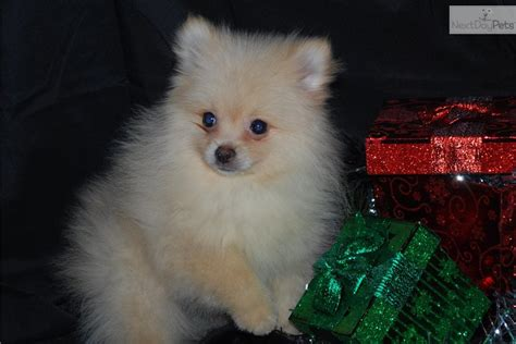 pomeranian boo price pomeranian puppy for sale near sioux falls se sd south dakota ba9150dc 72a1