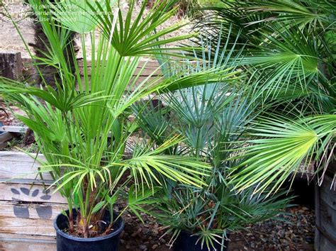 blue mediterranean fan palm for sale plantfiles pictures blue mediterranean fan palm