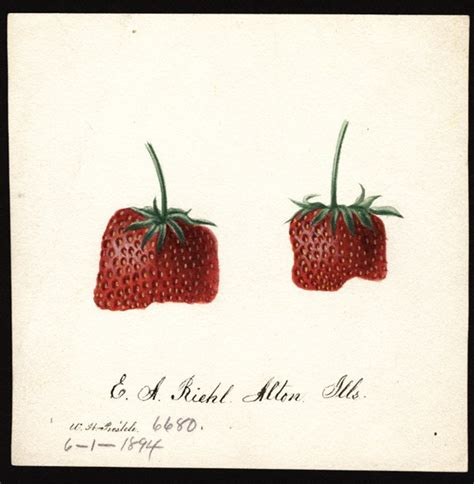 fruit 100 years ago scientific watercolours of fruit 100 years ago