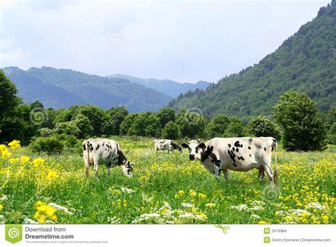 imagenes con movimiento vacas vacas y prado imagenes de archivo imagen 2476984