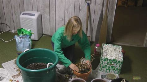 how to overwinter geraniums youtube