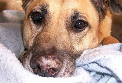 lupus in dogs pictures of skin problems in dogs from dandruff to ringworm and more