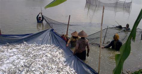 Bibit Bandeng Air Tawar media penyuluhan perikanan pati budidaya bandeng di air