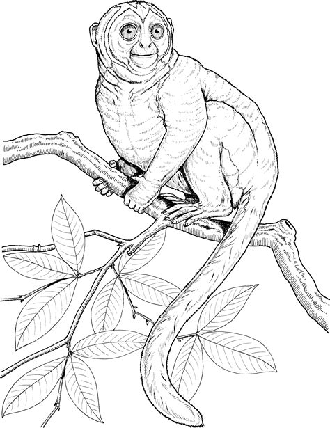 marmoset monkey coloring page free monkey coloring pages
