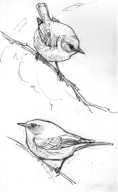 Sketches In by American Bird Sketches Drawing The Motmot