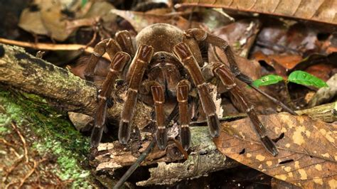 puppy sized spider goliath spider size of puppy www pixshark images galleries with a bite