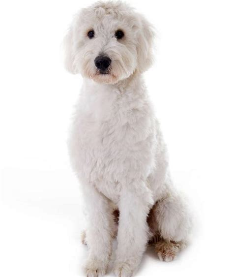 goldendoodle expectancy golden schnoodle breeds picture