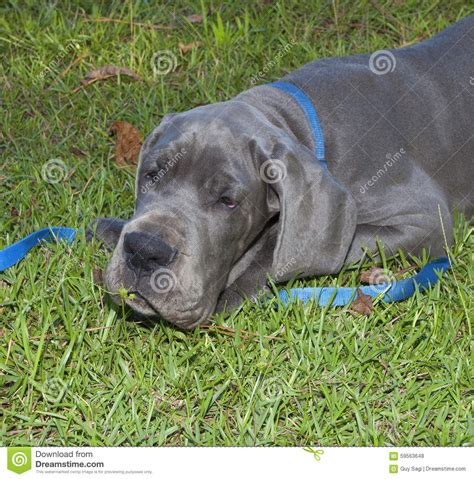 grey great dane puppy smelling the grass stock photo image 59563648