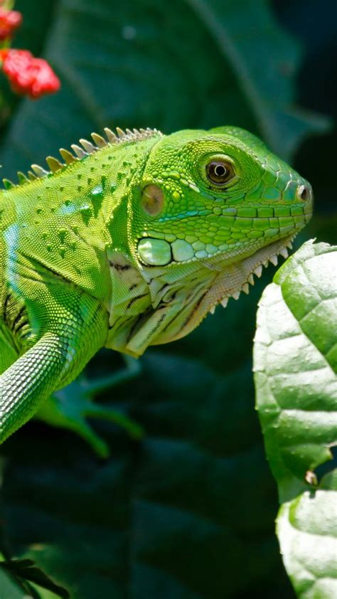 wallpaper iguana reptiles green aimal flowers eyes