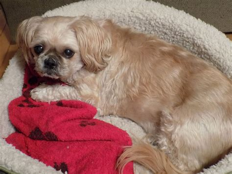 furever shih tzu news from bailey an adopted shih tzu happy beaver creek farm sanctuary