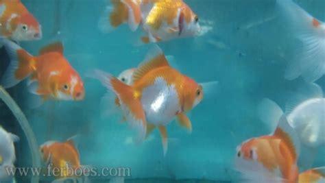 desain aquarium ikan koki ikan sapu sapu jangan dicur ikan koki ferboes com