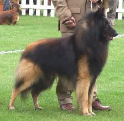 belgian shepherd laekenois breeders belgian shepherd tervuren with his master photo and