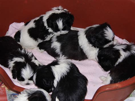 black and white shih tzu puppies for sale shih tzu pup quotes