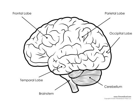 draw diagram simple labeled pencil sketch diagram of human brain