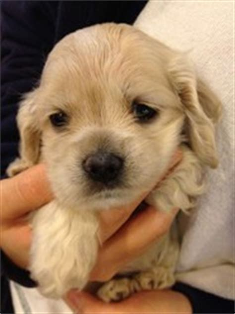 i want to buy a golden retriever puppy how to buy a golden retriever puppy
