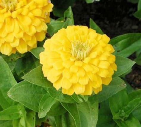 Benih Biji Bunga Dahlia Yellow 1 benih zinnia dahlia golden yellow 15 biji non retail bibitbunga