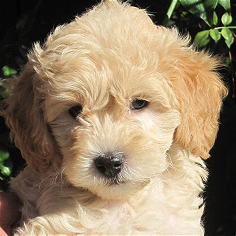 doodle large goldendoodle kennels san diego puppy galley