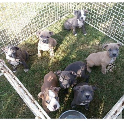 american bully puppies for sale american bully puppies 750 for sale in mira loma california classified