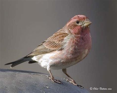 male purple finch google search birds pinterest