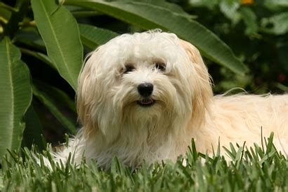 havanese breed temperament havanese breed information on havanese dogs