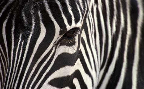 cool zebra wallpaper 147 zebra hd wallpapers background images wallpaper abyss