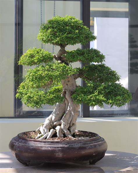 bonsai tree file water jasmine bonsai 711 october 10 2008 jpg