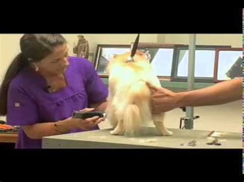 pomeranian shedding tips styling session pomeranian grooming tips