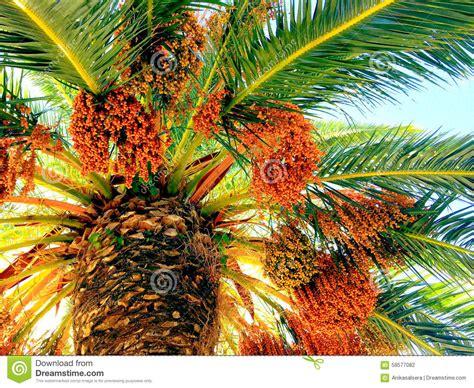 palm tree orange fruit palm tree with orange fruits stock photo image 58577082