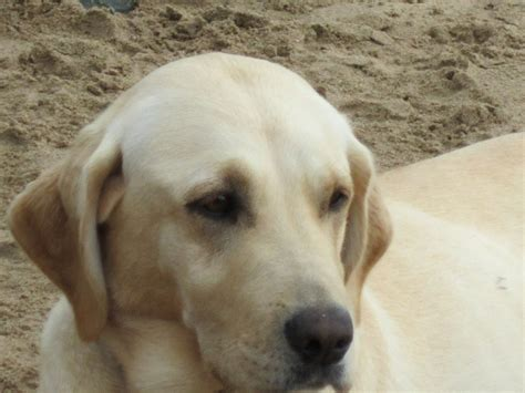 labrador puppies and dogs for sale pets classifieds pedigree yellow labrador puppies for sale newmarket