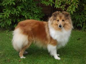 About sheltie dogs cute puppies photo and wallpapers
