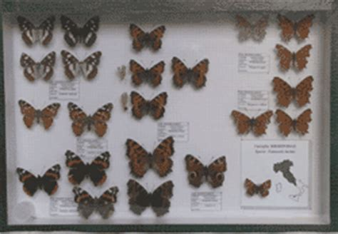 cassetta entomologica conservazione