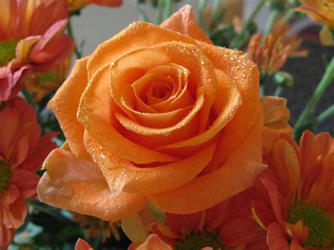 pretty orange fotos de rosas florpedia com