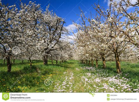 cherry tree orchard cherry tree orchard in stock photo image of blossum view 53023964