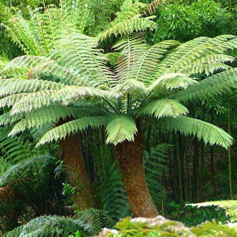 ft hardy tree fern dicksonia antarctica