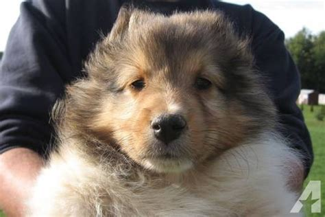 akc sheltie puppies for sale akc shetland sheepdog sheltie puppies white for sale in gainesville new