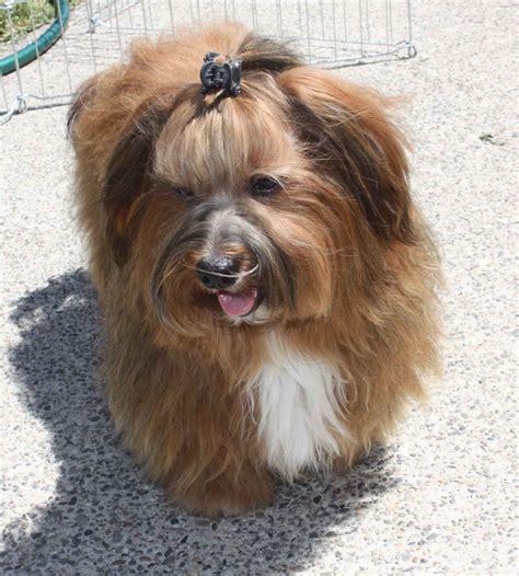 havanese standard prairiwind havanese havanese puppies akc havanese arturos page