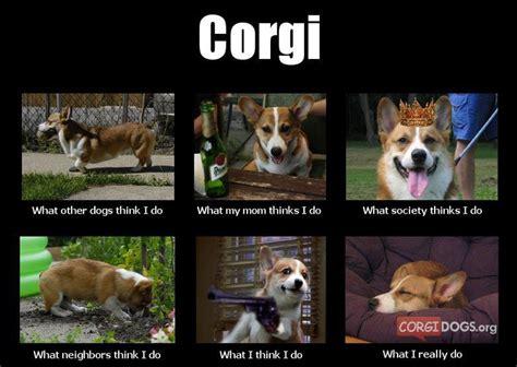 Funny Corgi Memes - 96 best corgis images on pinterest corgis corgi and