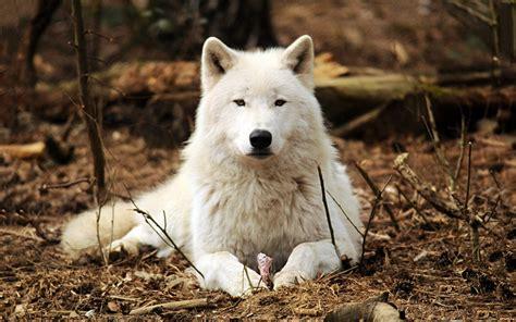 imagenes terrorificas de lobos fotos de lobos