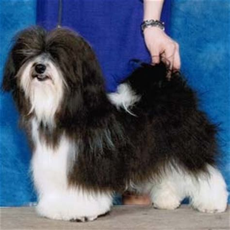 lifespan of havanese dogs most popular dogs top breeds favorite puppies pets4you
