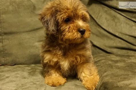 yorkie puppies for sale in jackson tn yorkiepoo yorkie poo puppy for sale near jackson tennessee 7ced153b b3c1