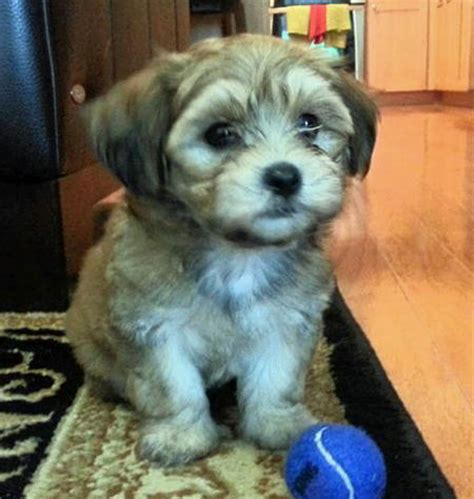 golden retriever havanese mix the gallery for gt husky havanese mix