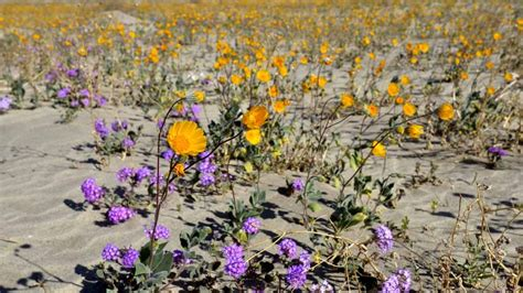 wildflowers anza borrego el ni 241 o rain brings explosion of wildflower color to