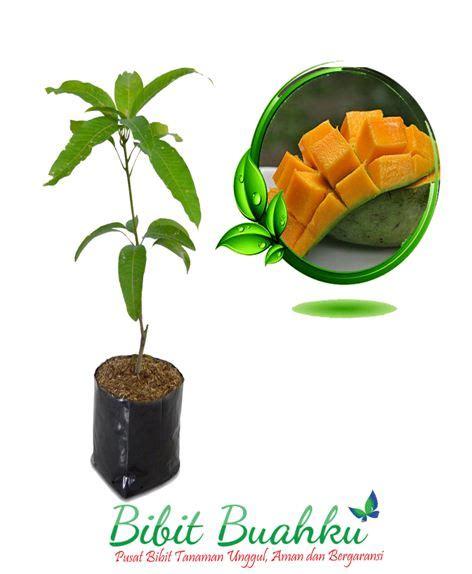 Mangga Harum Manis pusat pembibitan penjualan bibit mangga harum manis
